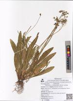Hieracium x floribundum Wimm. & Grab.
