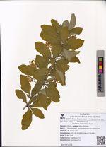 Berberis amurensis Rupr.