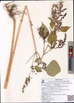 Cyclachaena xanthiifolia (Nutt.) Fresen.