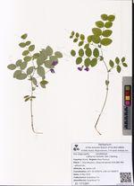 Lathyrus humilis (Ser.) Spreng.