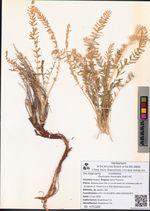 Oxytropis muricata (Pall.) DC.