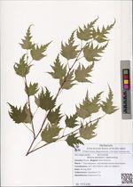 Betula pendula f. dalecarlica.