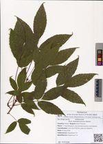 Acer mandshuricum Maxim.