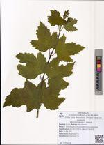 Viburnum opulus f. roseum