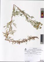 Ajania pallasiana (Fisch. ex Besser) Poljakov
