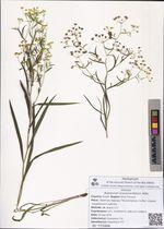 Bupleurum scorzonerifolium Willd.