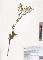 Potentilla longifolia Willd. ex Schltdl.