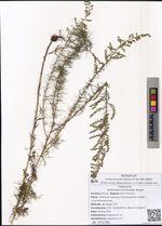 Artemisia commutata Besser