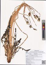 Taraxacum mongolicum Hand.-Mazz.