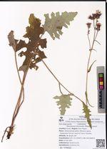 Saussurea recurvata (Maxim.) Lipsch.