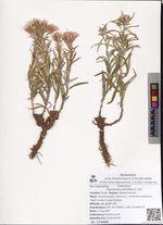 Saussurea salicifolia (L.) DC.