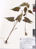 Saussurea subtriangulata Kom.