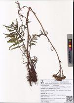 Saussurea odontolepis (Herder) Sch.Bip. ex Herder