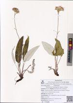 Saussurea hypargyrea Lipsch. & Vved.