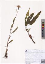Saussurea alpina (L.) DC.