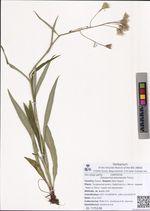 Saussurea amurensis Turcz.