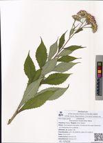 Saussurea neoserrata Nakai