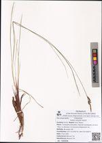 Carex minuta Franch.