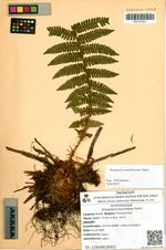 Dryopteris buschiana Fomin