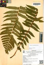 Dryopteris barbellata Fomin