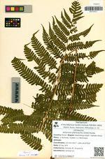 Athyrium pterorachis (Chist) Kurata
