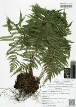 Lunathyrium pycnosorum (Christ) Koidz.