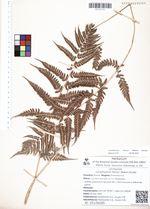 Lunathyrium henryi (Baker) Kurata