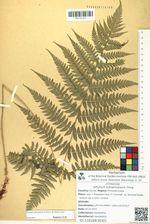 Athyrium subspinulosum Ching