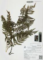 Athyrium yokoscense (Franch. & Sav.) Christ