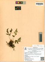 Woodsia macrochlaena Mett. ex Kuhn