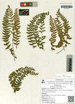 Woodsia subcordata Turcz.