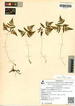 Gymnocarpium dryopteris (L.) Newman