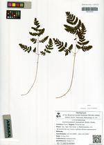 Gymnocarpium jessoense (Koidz.) Koidz.