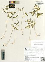Gymnocarpium robertianum (Hoffm.) Newman
