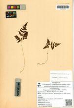 Phegopteris robertiana A.Br.; Aschers.