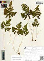 Gymnocarpium remotepinnatum (Hayata) Ching