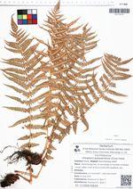 Oreopteris quelpaertensis (Christ) Holub