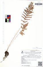 Dryopteris nipponica (Franch. & Savat.) C. Chr.