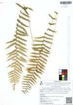 Parathelypteris nipponica (Franch. & Sav.) Ching