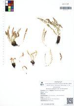 Woodsia glabella R. Br. ex Richardson