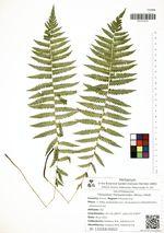 Thelypteris thelypteroides (Michx.) Holub