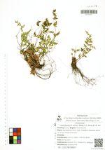 Leptolepidium kuhnii (Milde) K.H. Shing & S.K. Wu