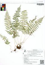 Polystichum tripteron (Kunze) C. Presl