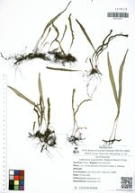 Lepisorus ussuriensis (Regel & Maack) Ching