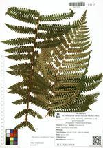 Dryopteris crassirhizoma Nakai