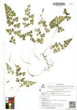 Dennstaedtia wilfordii (T. Moore) Christ