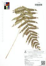 Osmundastrum asiaticum Tagawa