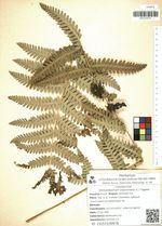 Osmundastrum claytoniana (L.) Tagawa