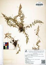 Protowoodsia manchuriensis (Hook.) Ching