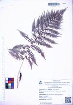Athyrium sinense Rupr.